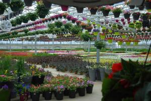 A kertész a faiskola termékeiből dolgozik